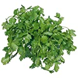 Futaba® Cilantro Chinese Parsley Coriander Pure Natural Organic Vegetable 200 Seeds