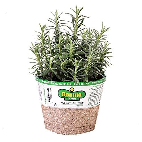 Bonnie Plants Elegance Lavender Herb Plant