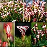 Tanatorn store Oxalis Versicolor Flowers Seeds 100pcs World's Rare Flowers For Garden
