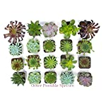 Succulent Plants (5 Pack), Fully Rooted in Planter Pots with Soil - Real Live Potted Succulents / Unique Indoor Cactus… 21 HAND SELECTED: Every pack of succulents we send is hand-picked. You will receive a unique collection of species that are FULLY ROOTED IN 2 INCH POTS, which will be similar to the product photos (see photo 2 for scale). Note that we rotate our nursery stock often, so the exact species we send changes every week. THE EASIEST HOUSE PLANTS: More appealing than artificial plastic or fake faux plants, and care is a cinch. If you think you can't keep houseplants alive, you're wrong; our succulents don't require fertilizer and can be planted in a decorative pot of your choice within seconds. DIY HOME DECOR: The possibilities are only limited by your imagination; display them in a plant holder, a wall mount, a geometric glass vase, or even in a live wreath. Because of their amazingly low care requirements, they can even make the perfect desk centerpiece for your office.