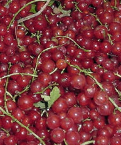 Perfection Red Currant Fruit Shrub Berry Seedling Fruiting Small Tree Live Plant ()