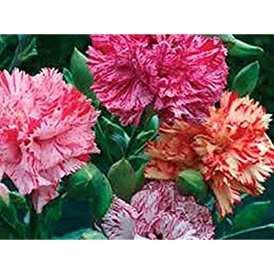 Carnation (Dianthus Caryophyllus Chabaud) - Picotee Mix- 50 seeds : Garden & Outdoor