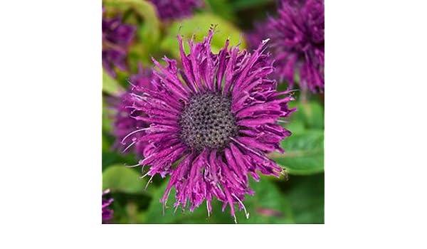 Purple gallo Bee Balm (Monarda - Royal morado de flores - galón ...