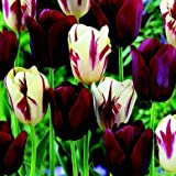 50 Perfect Match Tulip Bulbs - Super-sized X-tra Value Bag!! Pre-chilled Read for Spring!!
