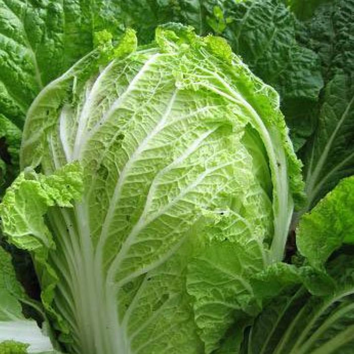 反映する耳サリーあいあい 熊本県産 白菜 1本 【野菜セット同梱で】【九州 野菜】