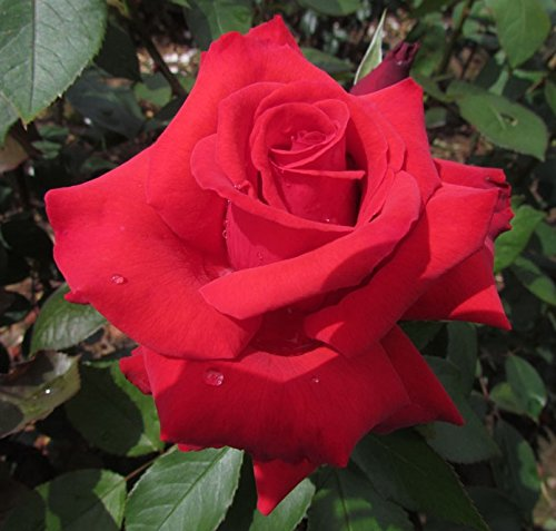 Exclusive Listing Stunning Large Vermillion Red Blooms with Strong Fragrance Moulin Rouge 4lt Potted Hybrid Tea Garden Rose Bush