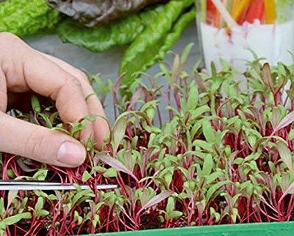 Microgreens - Mangold - hojas jóvenes con un sabor excepcional - semilla