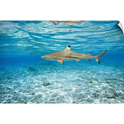 CANVAS ON DEMAND M Swiet Productions Wall Peel Wall Art Print Entitled French Polynesia, Rangiroa, Blue Lagoon, Blacktip Reef Shark (Carcharhinus Melanopterus) 18
