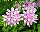 50 Coronilla Varia Seeds Crown Vetch Ornamental Garden Flowers