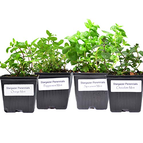Stargazer Perennials Mint Collection (4) Potted Live Plants | Peppermint Spearmint Orange Chocolate | Great Gift Herb Kit Grown Organic - Easy to Grow