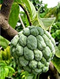 Nianyan 30 Seeds Annona squamosa Sugar Apple, Sweetsop Fruit Tree