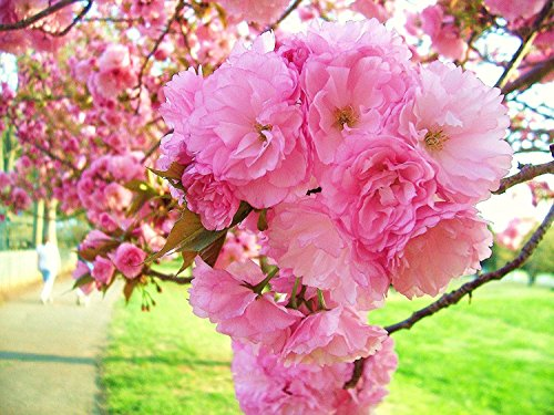 2 Pink KWANZAN Weeping Cherry Tree 8-10 INCH Flowering Trees SHRUBS Live Plants