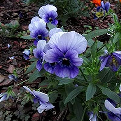 LOadSEcr's Garden 100Pcs Pansy Seeds Non-GMO Ornamental Plants Yard Office Decoration, Open Pollinated Seeds - Pansy Seeds : Garden & Outdoor