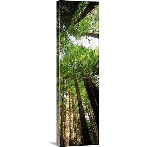 Coast Redwood (Sequoia sempivirens) Trees in a Forest, California Canvas Wall Art Print, 12