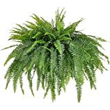 United Nursery Jumbo Boston Fern, Live Indoor and Outdoor Hanging Basket Plant. 42 to 44 Inches Shipping Size. Shipped Fresh from Our Florida Farm