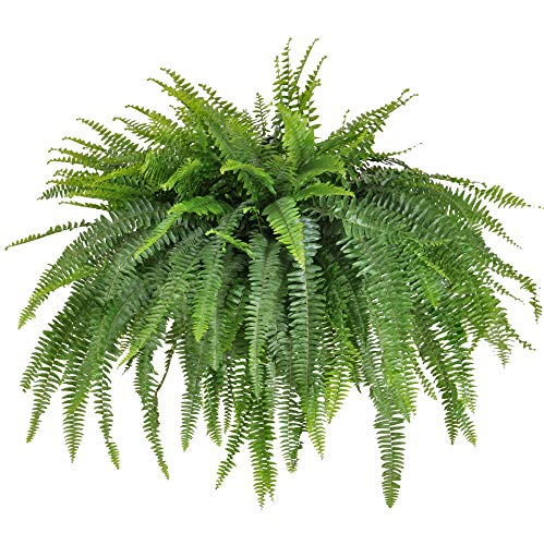 United Nursery Jumbo Boston Fern, Live Indoor and Outdoor Hanging Basket Plant. 42 to 44 Inches Shipping Size. Shipped Fresh from Our Florida Farm by United Nursery (Image #5)