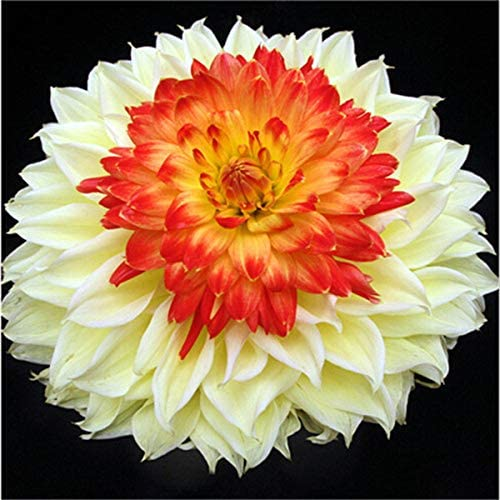 24 tipos de jardín de dalia, tipo Semillas de flores Dalia Paquidermos Flor Semillas de dalia Semillas Flores - 50 piezas Flores: 17: Amazon.es: Jardín