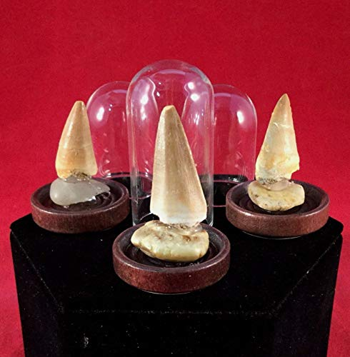 Fossilized Genuine Mosasaurus Tooth Fossil Glass Dome Display Dinosaur ()