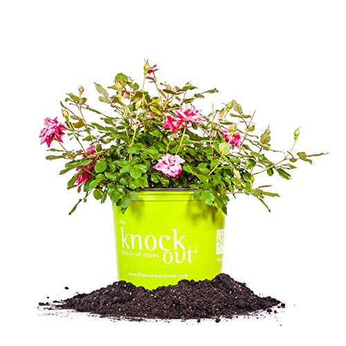 Perfect Plants Double Pink Knock Out Rose Live Plant, 3 Gallon, Includes Care Guide