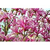 "Ann Star Magnolia Tree - Outdoors or Bonsai - Fragrant - 4"" pot"
