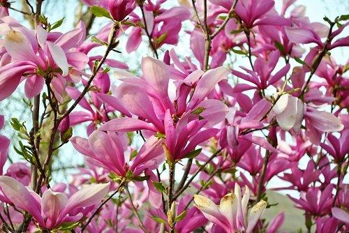 Ann Star Magnolia Tree - Outdoors or Bonsai - Fragrant - 4