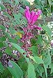 Salvia involucrata Rosebud sage or Roseleaf Sage Plant