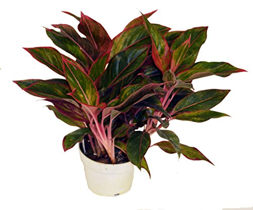 Plant Evergreen Chinese (Red Chinese Siam Evergreen, 6