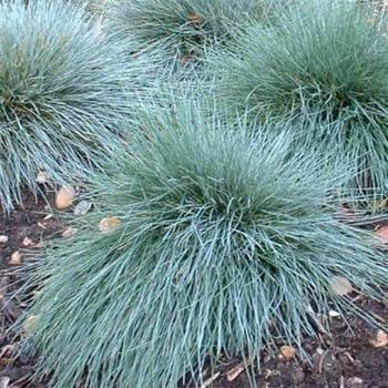 Outsidepride Blue Fescue - 5000 Seeds