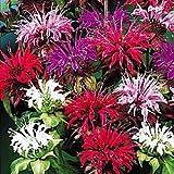 50+ Monarda Panarama Mix Bee Balm Flower Seeds / Deer Resistant/ Drought Tolerant Perennial
