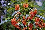 Red Flowering Fragrant Tea Olive ( osmanthus ) - 3 Gallon Pot