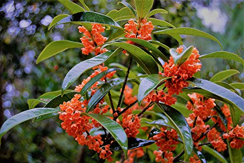 Red Flowering Trees - New Life Nursery & Garden / - Red Flowering Fragrant Tea Olive (osmanthus) / - Quart Pot