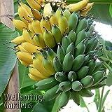 ice cream banana plant - Ice Cream HARDY BANANA PLANT Tasty Fruit Tree LIVE PLANT Blue Java New