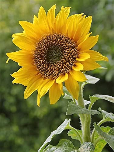 50 HOPI SUNFLOWER Common Helianthus Annuus Yellow Flower Seeds *Flat Shipping