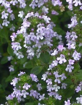 Asien 1000 LEMON THYME Thymus Citriodorus Flower Herb Seeds by (Lemon Thyme)