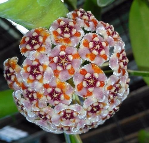 20 Seeds White Purple Orange Hoya Ball Orchard Flower Garden Seed Plant