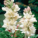 """5 Double Polianthes Tuberose Bulbs""""The Pearl""""Polianthes Lily~Fragrant~Heat hardy"""