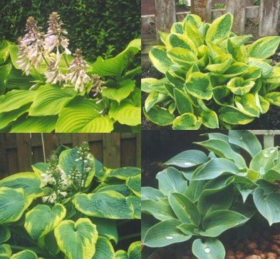 Amazoncom Mixed Hybrid Hosta 20 Seeds Shade Lover Flowering