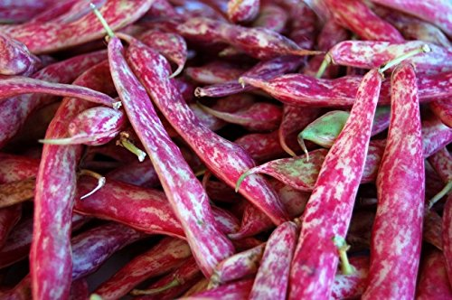 Dwarf Taylor Horticultural Beans(Heirloom Cranberry Beans) by Stonysoil Seed Company Cranberry Bush