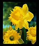 Burpee's Dutch Master Daffodil - 10 Flower Bulbs   Yellow   14 - 16cm Bulb Diameter