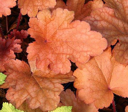 Heuchera Coral Bells Peach Flambe 10 (Heuchera Peach)