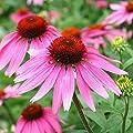 Non GMO Bulk Purple Coneflower Seeds Echinacea purpurea