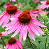 Non GMO Bulk Purple Coneflower Seeds Echinacea purpurea 37,000 Seeds (1/4 Lb)