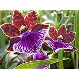 1 fioritura abilitato Orchidea il varietà: Zygopetalum, 13cm Pentola, forte odore