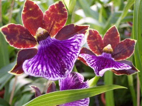 An orchid flowering size, variety: Zygopetalum, 13cm saucepan, strong fragrance Feed Decor