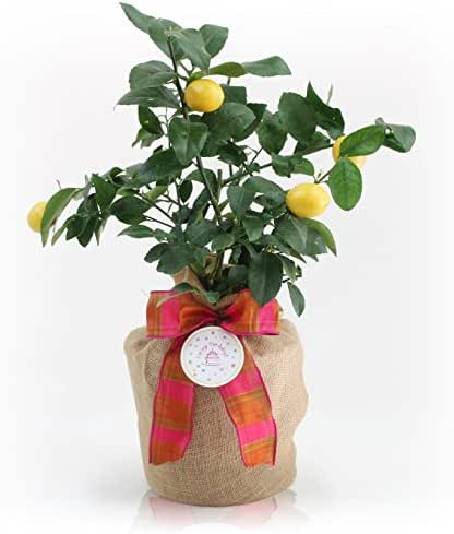 Happy Birthday Meyer Lemon Gift Tree by The Magnolia Company - Get Fruit 1st Year, Dwarf Fruit Tree with Juicy Sweet Lemons, No Ship to TX, LA, AZ and CA