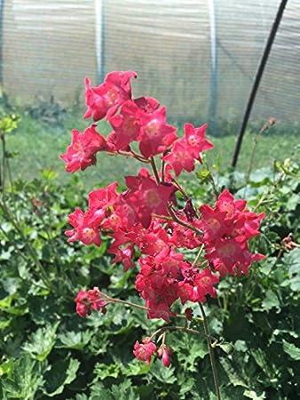 Garten Purpurglockchen Dew Drops Bodendecker Orange Bluhend