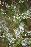 Seeds/Packet 750 Aster lateriflorus CALICO ASTER