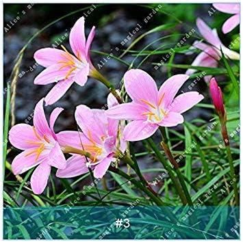 Vistaric ZLKING 2 Unids Zephyranthes Flores Bulbo Huerto ...