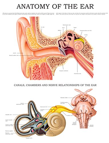 Anatomy of the ear e-chart: Quick reference guide