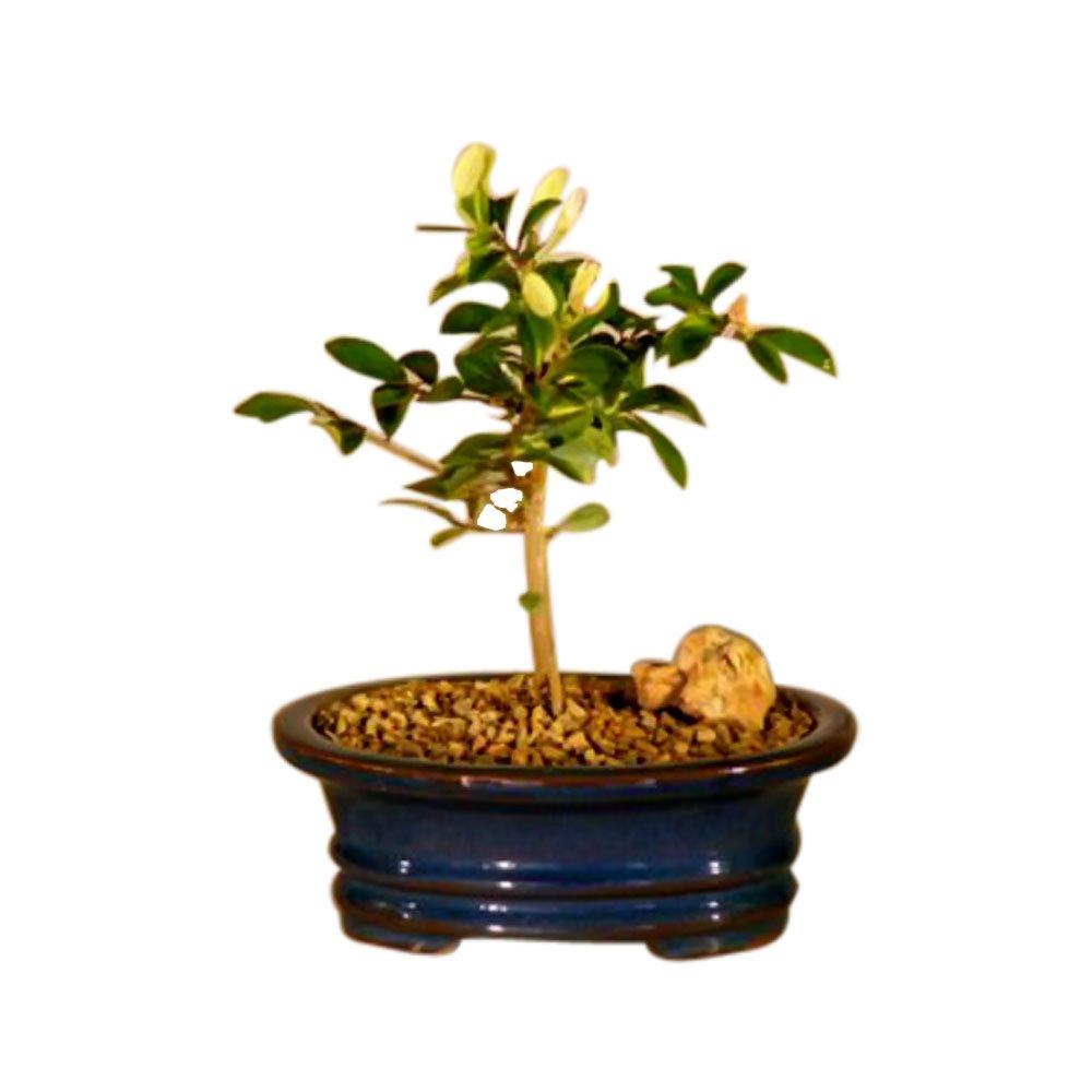 Bonsai Boy's Flowering Lavender Star Flower Bonsai Tree - Small Grewia Occidentalis